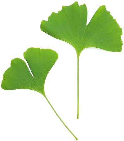 東久留米市の樹:イチョウ